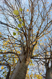 Poplar. Trees with several green and yellow autumn leaves Royalty Free Stock Photos