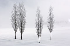 Poplar trees in soft,tranquil environment in winter time Royalty Free Stock Photo
