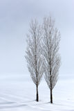 Poplar trees in soft,tranquil environment in winter time Stock Photo