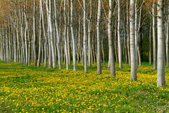 Poplar trees in spring. The light of evening light a cultivation of poplars in april in Piedmont - Italy Royalty Free Stock Photo