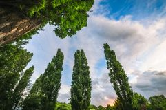 Poplar trees at sunset Royalty Free Stock Image