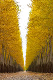Poplar trees on a tree farm autumn Stock Photography