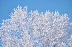 Poplar trees under hoarfrost in snow field in winter season Stock Images