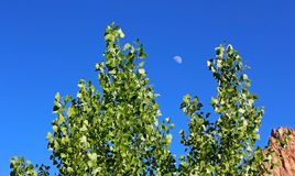 Poplar trees of Watchman Campground, Zion. The green poplar trees leaves and the blue sky with moon in summer time from the Watchman Campground by the Virgin Royalty Free Stock Photos