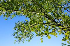 Poplar trees of Watchman Campground, Zion. The green poplar trees leaves and the blue sky with moon in summer time from the Watchman Campground by the Virgin Royalty Free Stock Image