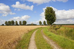 Poplar trees and wheat fields by a scenic farm track Stock Images