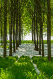 Poplar trees and white pollen in a forest in spring Royalty Free Stock Images