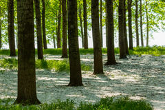Poplar trees and white pollen in a forest in spring Stock Image