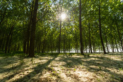 Poplar trees and white pollen in a forest in spring Stock Photography