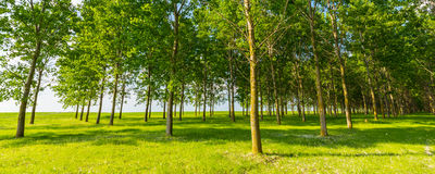 Poplar trees and white pollen in a forest in spring Royalty Free Stock Photos