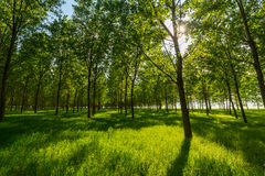 Poplar trees and white pollen in a forest in spring Stock Images