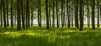 Poplar trees and white pollen in a forest in spring Royalty Free Stock Photography