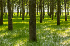 Poplar trees and white pollen in a forest in spring Royalty Free Stock Photo