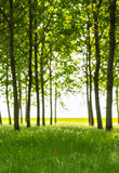 Poplar trees and white pollen in a forest in spring Stock Photo