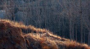 Poplar trees in winter Royalty Free Stock Photo