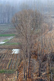 Poplar trees in winter Stock Images