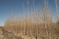 Poplar trees in winter with blue sky , fresh air , sun , sunny.  Stock Photos