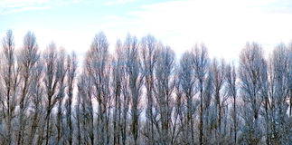 Poplar trees in winter Royalty Free Stock Photography
