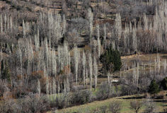 Poplar trees in winter, Turkey Stock Photo
