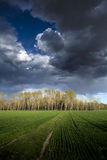 Poplar trees Stock Image