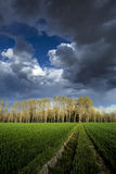 Poplar trees. A wood of poplar trees Royalty Free Stock Image