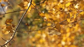 Poplar treetop branches with leaves on wind stock footage