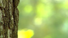 Poplar trunk close-up. Blurry nature background with reliefe poplar bark at front stock video footage