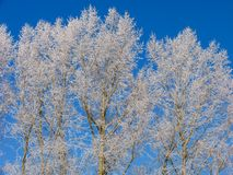 Poplar under the hoar-frost Royalty Free Stock Photo