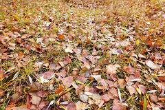 Poplar and Willow Autumn Leaves Stock Images