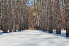 Poplar in winter forest Royalty Free Stock Image