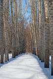Poplar in winter forest Royalty Free Stock Images