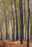 Poplar woods. In early spring Stock Images