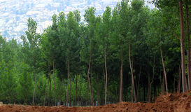 Poplar woods. In early summer Royalty Free Stock Photography