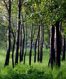 Poplar woods. In the summer Stock Images