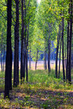 Poplar woods. In the autumn Royalty Free Stock Images