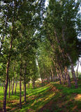 Poplar woods. In autumn with sunshine Royalty Free Stock Photography