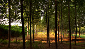 Poplar woods. In autumn with sunshine Royalty Free Stock Images
