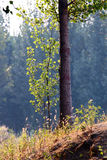 Poplar woods in autumn. With sunshine Stock Photo
