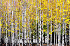Poplar Woods in Autumn. The fall of one leaf is enough to tell coming of autumn Royalty Free Stock Photo