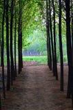 Poplar woods. In autumn with sunshine Stock Photo