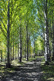 Poplar Woods. That day, the sky was clear and bright. I walked into the Poplar Woods. Although there was no one here, but I didnt feel afraid, because here was Royalty Free Stock Photo