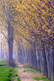 Poplar woods. In early spring Stock Image