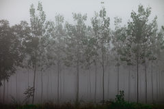In the poplar woods. Lost in the poplar woods in a fog morning Stock Images
