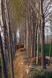Poplar woods. In spring with sunshine Stock Image