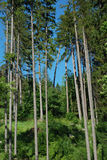 Poplars. Poplar is one of the tallest tree in Poland stock images