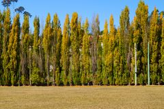 Poplars Stock Photography