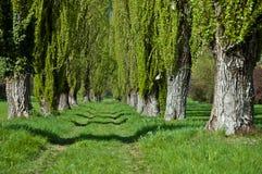 Poplars. Long avenue of green poplars, Italy royalty free stock photos