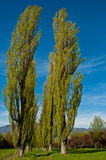 Poplars. Long avenue of green poplars with background blue sky, Italy royalty free stock photography