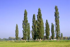 Poplars Royalty Free Stock Photos