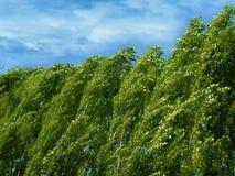 poplars Fotos de Stock